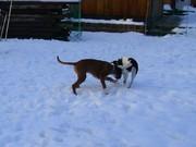 Junghunde im Schnee